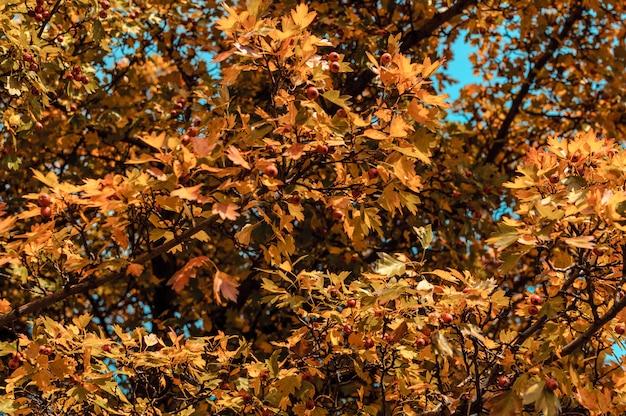 Piękni Jesień Liście żółtego Dębu Zbliżenie. Premium Zdjęcia