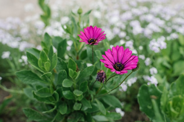 Piękni Purpurowi Kwiaty Kwitną W Ogródzie Premium Zdjęcia
