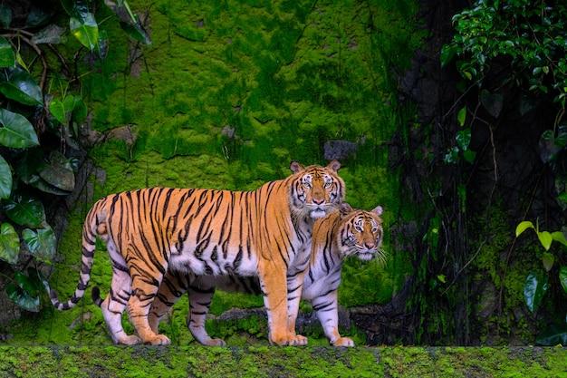 Piękny Bengalski Tygrys Zieleni Tygrys W Lasowej Przedstawienie Naturze. Premium Zdjęcia