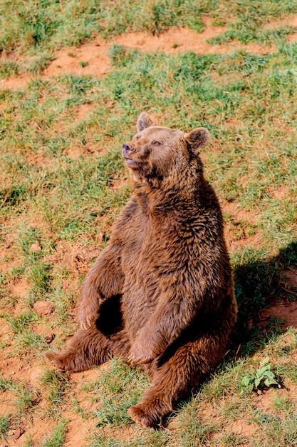 Piękny Brązowy Niedźwiedź Hiszpański Premium Zdjęcia