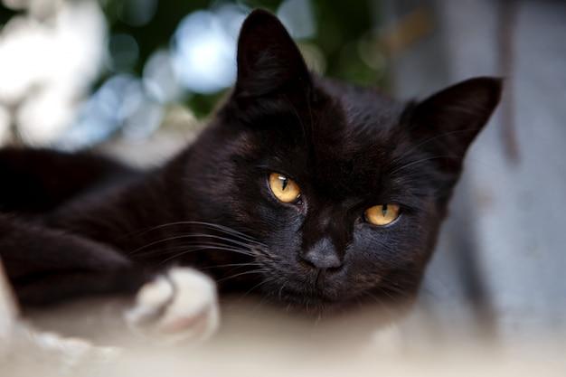 Piękny czarny kot leżący i patrząc Premium Zdjęcia
