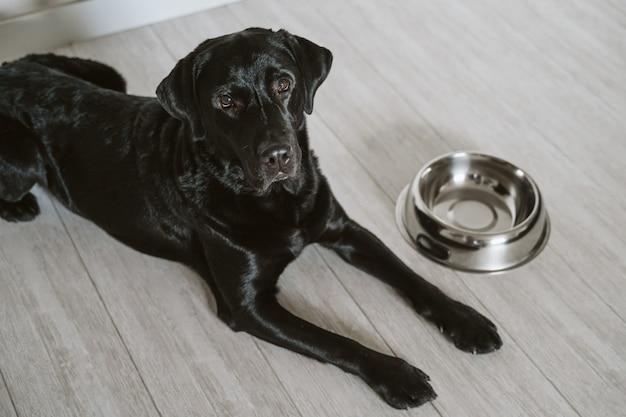 Piękny Czarny Labrador Czeka Jeść Jego Posiłek. Dom, Wnętrze Premium Zdjęcia