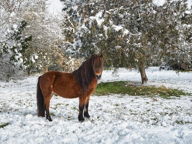 Piękny Czerwony Kucyk Pasie Się W Podmiejskim Zimowym Pokrytym śniegiem Parku Po śniegu. Premium Zdjęcia
