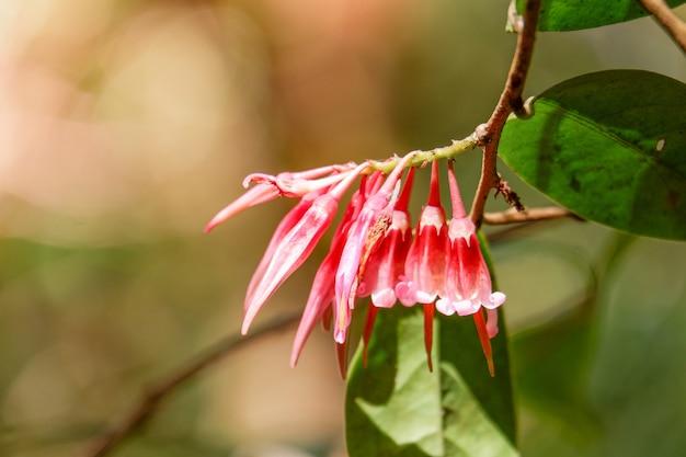 Piękny Czerwony Kwiat Agapetes Parishii W Przyrodzie Premium Zdjęcia