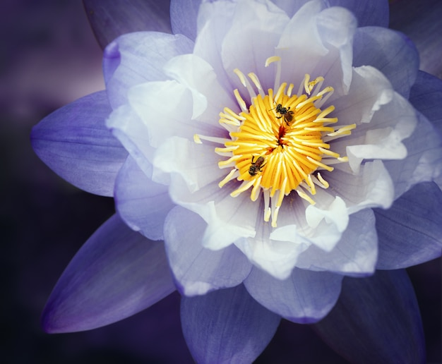 Piękny Fioletowy Kwiat Lilii Wodnej (kwiat Lotosu), Kwadratowy Format. Premium Zdjęcia