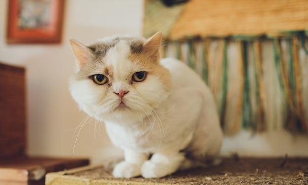 Piękny Kot. Pielęgnacja Zwierząt Premium Zdjęcia