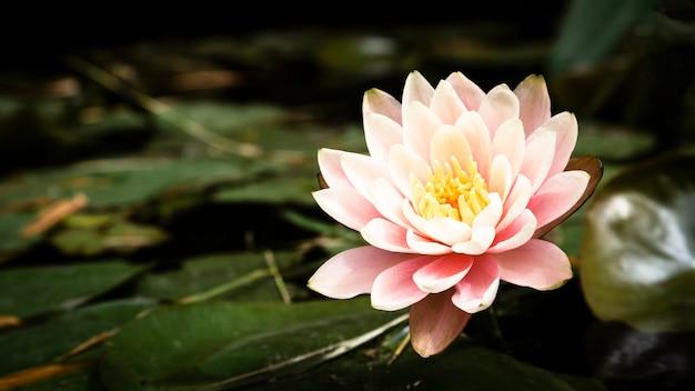 Piękny kwiat lotosu zbliżenie Darmowe Zdjęcia