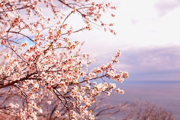 Piękny kwiat moreli na tle nieba, tonujący Premium Zdjęcia