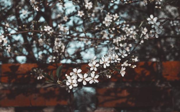 Piękny Kwiat Wiśni Premium Zdjęcia