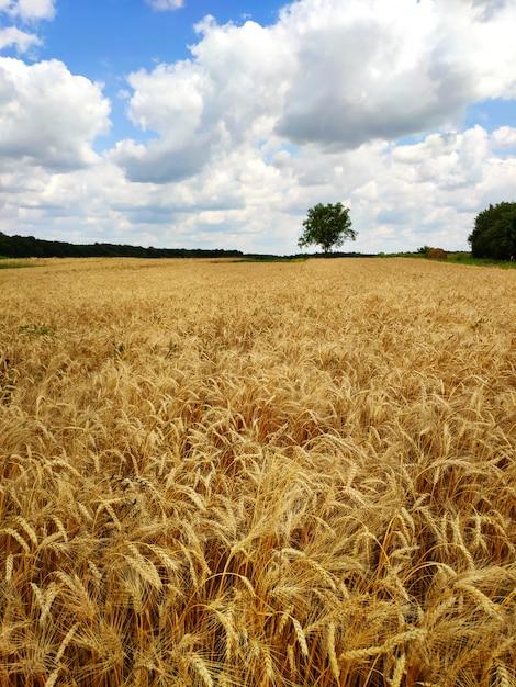Piękny Letni Krajobraz. żniwa Na Zewnątrz. Pole Pszenicy Na Wsi. Premium Zdjęcia
