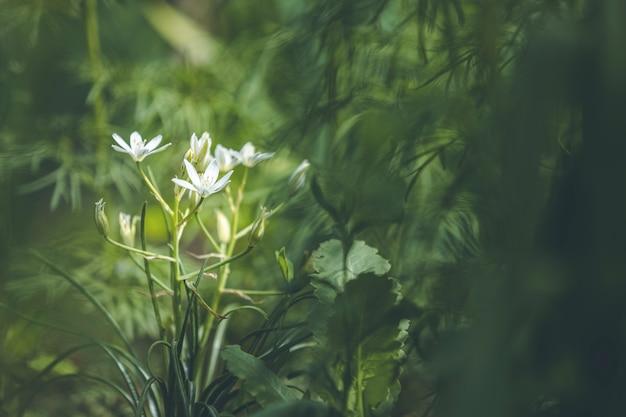 Piękny Magiczny Charakter Tło Z Białych Kwitnących Kwiatów I Promień Słońca W Ciemnych Zaroślach Leśnych Premium Zdjęcia