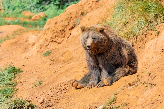 Piękny Niedźwiedź Brunatny Premium Zdjęcia