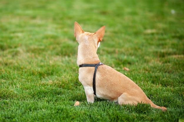Piękny Pies Z Bliska Widok Z Tyłu. Chihuahua Pies Na Spacerze W Jesień Parku. Samotny Pies Siedzi W Publicznym Parku I Czeka Na Powrót Swoich Właścicieli. Koncepcja Zwierząt Domowych. Chodź Z Psem. Pieska Siedząca Wg Premium Zdjęcia