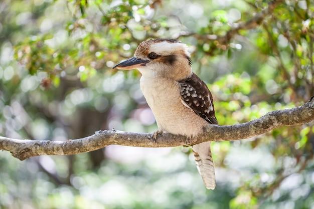 Piękny Portret Roześmianej Kookaburra Na Zamazanej Zieleni Premium Zdjęcia
