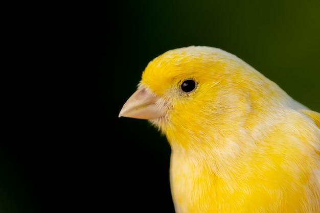 Piękny portret żółty kanarek Premium Zdjęcia