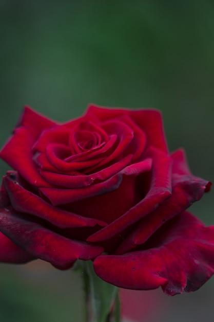 Piękny Róża Kwiat W Ogródzie. Tło Kwiat Róży. Tekstura Kwiat Róż. Urocza Róża. Premium Zdjęcia