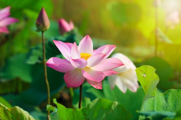 Piękny Różowy Kwiat Lotosu W Kwitnące Premium Zdjęcia