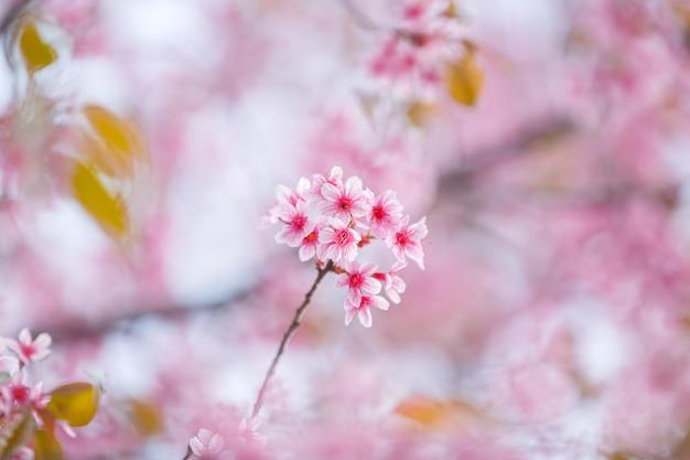 Piękny Różowy Kwiat Wiśni, Kwiat Sakury Premium Zdjęcia