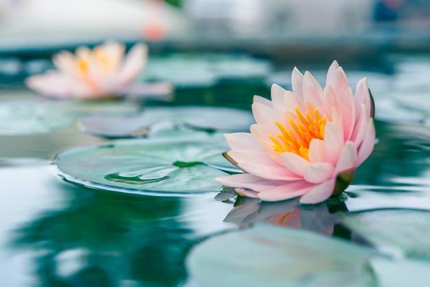 Piękny Różowy Lilia Wodna Lub Kwiat Lotosu W Stawie Premium Zdjęcia
