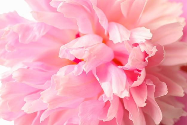 Piękny Różowy Peonia Kwiat Jako Tło Premium Zdjęcia