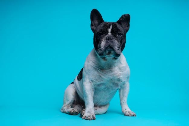 Piękny Siedzący Buldog Francuski Premium Zdjęcia