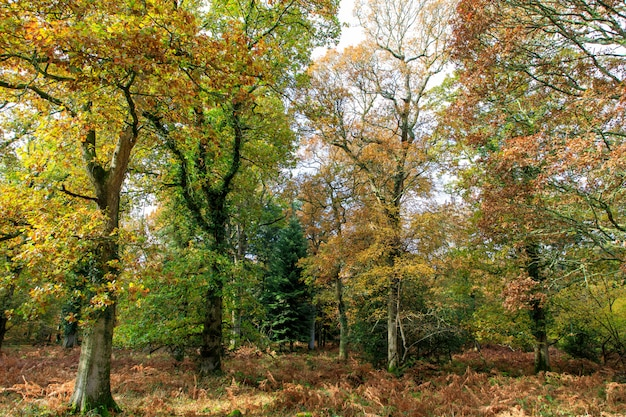 Piękny Strzał Drzewa Z Jesień Liśćmi W Nowym Lesie Blisko Brockenhurst, Uk Darmowe Zdjęcia
