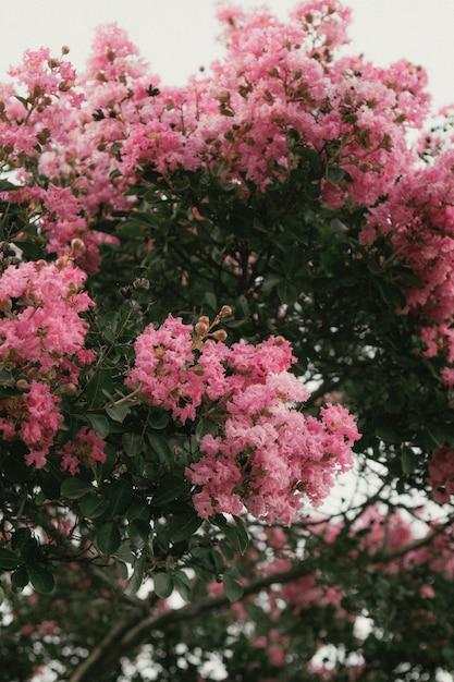 Piękny Strzał Kwitnący Różowy Sakura Drzewo Darmowe Zdjęcia