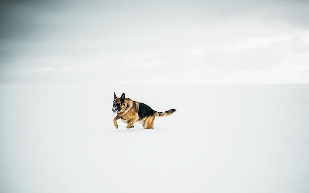Piękny Strzał Owczarka Niemieckiego W śniegu Darmowe Zdjęcia