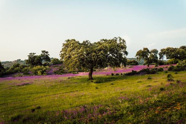 Piękny Strzał Trawy Pole Wypełnione Lawendowymi Kwiatami I Drzewami Darmowe Zdjęcia