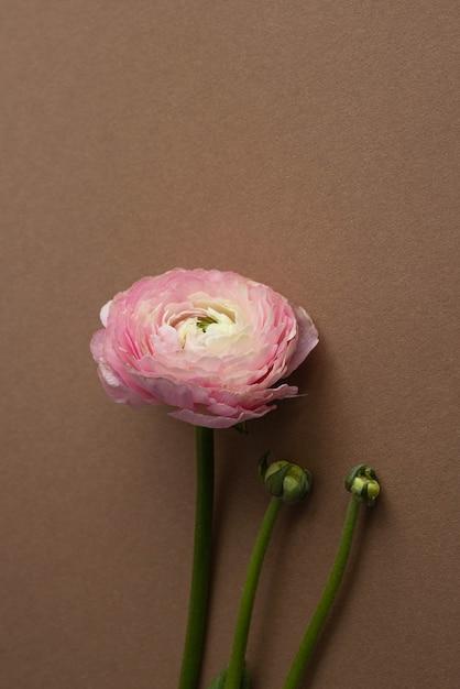 Piękny świeży Kwitnący Pojedynczy łosoś Kolorowy Kwiat Jaskier Na Brązowy Pionowy Widok Z Boku Premium Zdjęcia