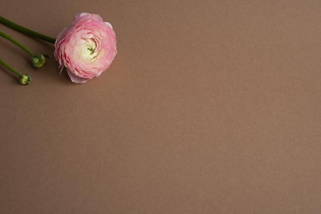 Piękny świeży Kwitnący Pojedynczy łosoś Kolorowy Kwiat Jaskier Na Brązowym Z Widokiem Z Boku Copyspace Premium Zdjęcia