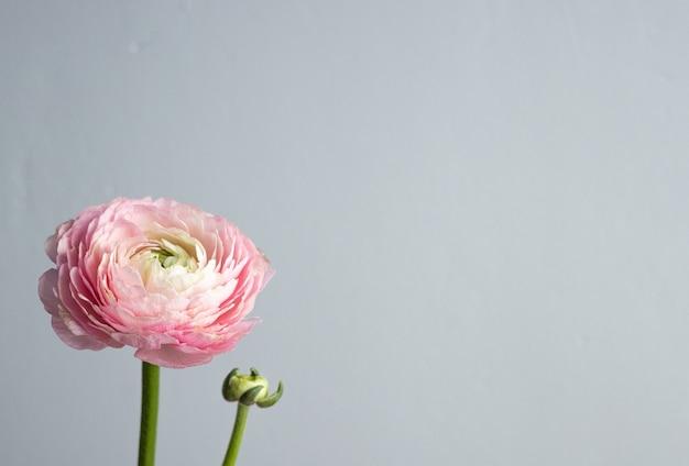 Piękny świeży Kwitnący Pojedynczy łosoś Kolorowy Kwiat Jaskier Na Greybackground Z Widokiem Z Boku Copyspace Premium Zdjęcia
