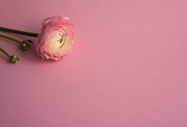 Piękny świeży Kwitnący Pojedynczy łosoś Kolorowy Kwiat Jaskier Na Różowo Z Copyspace Premium Zdjęcia