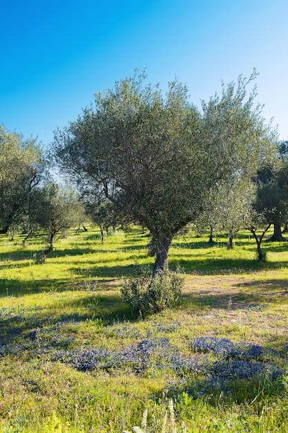 Piękny Widok Na Drzewa Oliwne Na Wiosnę W Salento, W Apulii, Z Kwitnącym Polem I Jasnym Niebieskim Niebem. Selektywne Ustawianie Ostrości Premium Zdjęcia