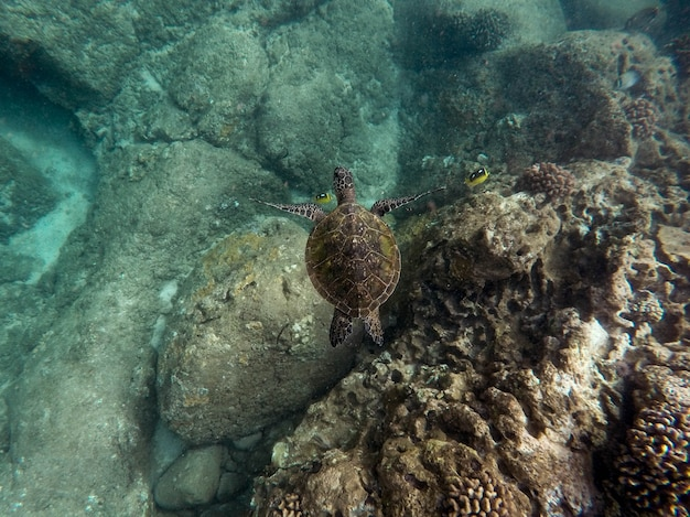 Piękny Zbliżenie Strzał Wielkiego żółwia Pływać Podwodny W Oceanie Darmowe Zdjęcia