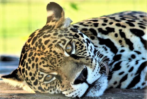 Piękny żeński Jaguara Odpoczywać Premium Zdjęcia