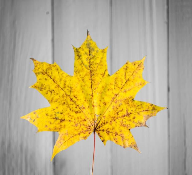Piękny żółty Jesienny Liść Na Stare Białe Drewno Zbliżenie Darmowe Zdjęcia