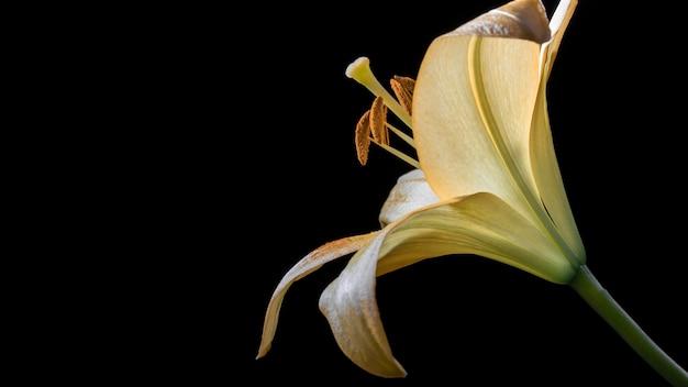 Piękny żółty Kwiat Lilii Darmowe Zdjęcia