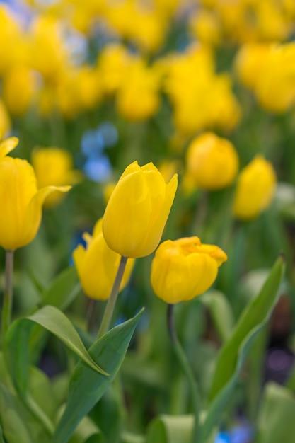 Piękny żółty Tulipan Kwitnie W Ogródzie Premium Zdjęcia