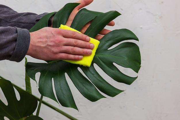 Pielęgnacja I Czyszczenie Roślin I Kwiatów. Zbliżenie: Mężczyzna Ogrodnik Odkurzanie Liści Monstera. Premium Zdjęcia