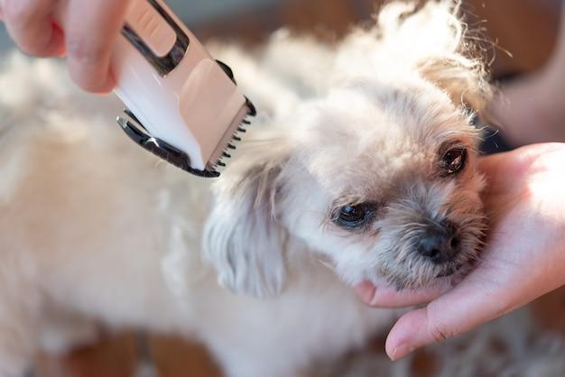 Pielęgnacja I Strzyżenie Futra Psa Beżowego Psa Tak Uroczego Mieszanego Z Shih-tzu, Pomeranianem I Pudlem Premium Zdjęcia