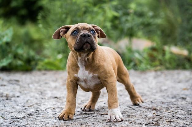 Pies Amerykański Pit Bull Terrier, Portret Na Charakter. Premium Zdjęcia