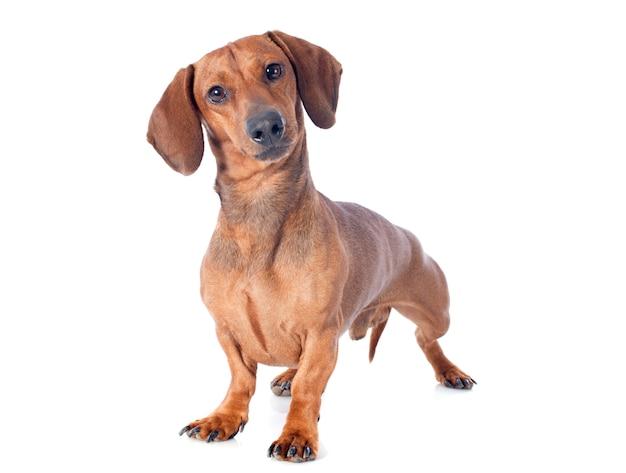 Pies Jamnik Premium Zdjęcia