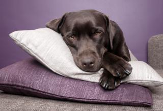 Pies labrador leżał na poduszkach Darmowe Zdjęcia