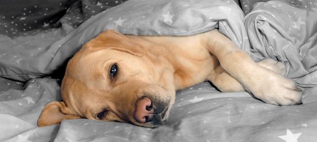 Pies Labrador Leży Na Posłaniu Na łóżku. Premium Zdjęcia