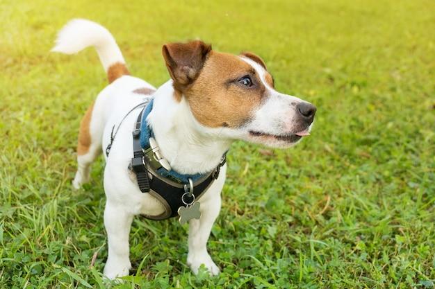 Pies na trawie Premium Zdjęcia