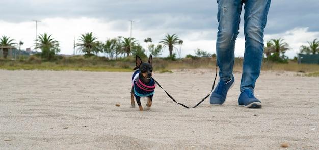 Pies Pinczer Spacerujący Ze Swoim Panem Na Plaży Premium Zdjęcia