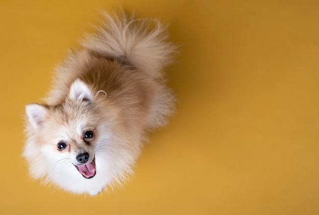 Pies Rasy Pomorskiej, Patrząc W Górę Premium Zdjęcia