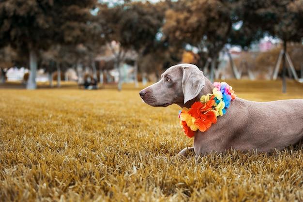 Pies rasy wyżeł weimarski w pięknym jesiennym krajobrazie z pięknymi ochrowymi kolorami. Premium Zdjęcia