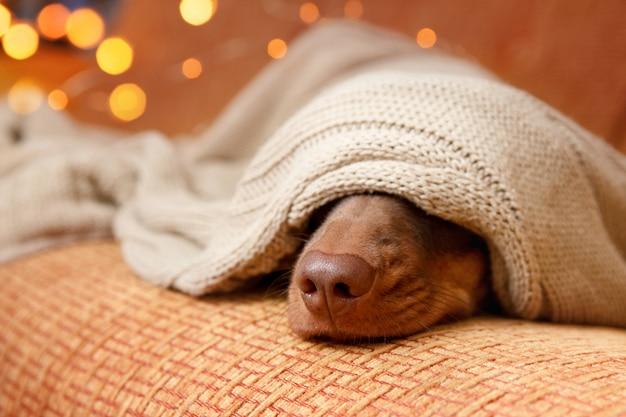 Pies śpi pod kocem w pobliżu lampki choinkowej. ścieśniać. zimowa koncepcja Premium Zdjęcia